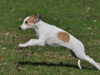 ein Windhund
