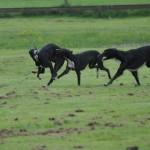 schwarze Schwanenenkelkinder
